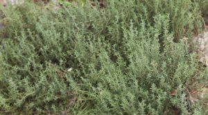 Thyme at First Agro Farms