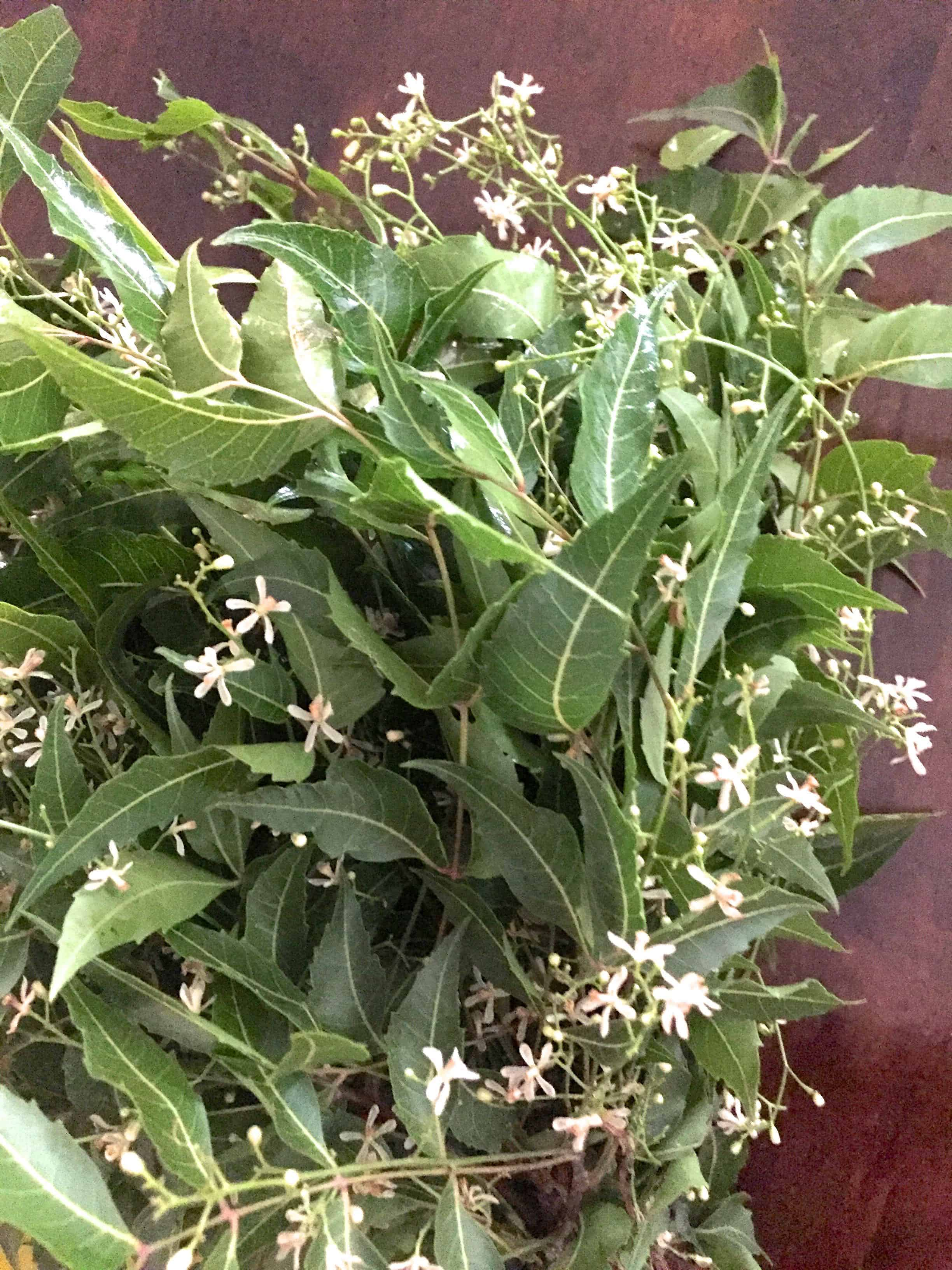 A bunch of neem leaves with star like white fresh neem flowers