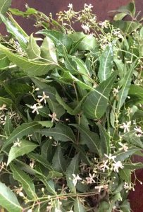 A bunch of fresh green Neem (margosa) Leaves with white star like tiny neem blossoms