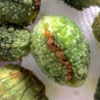 A batch of small green bitter gourd stuffed with mustard coloured raw mango onion stuffing, all tied up with thread wrapped around to stop the filling from falling out during frying